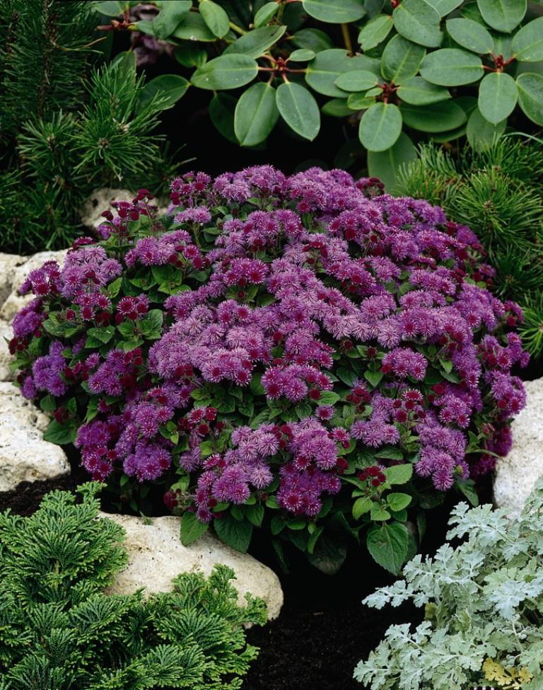 Цветок агератум  уход и посадка фото агератума