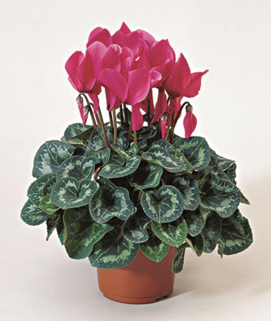 домашние цветущие цветы в картинках